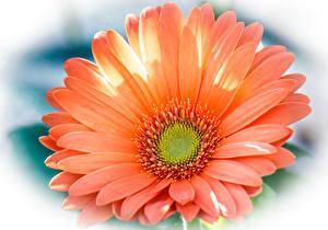 Фотография Герберы Вблизи Оранжевый Цветы