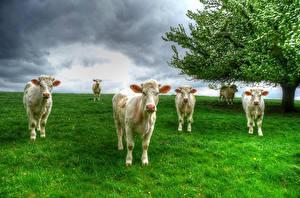 Обои Луга Корова Трава Стадо Животные