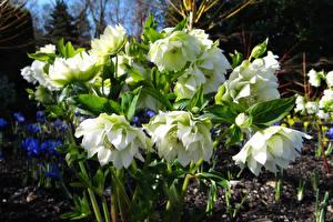 Фотографии Морозник Вблизи Белый Цветы