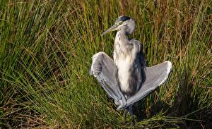 Фотографии Цапли Птицы Трава Крылья животное