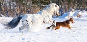 Фото Лошади Собаки Зима Бег Снег Животные