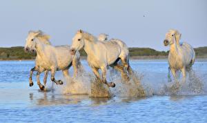 Фотография Лошади Вода Бег Брызги Белый Животные