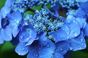Картинки Гортензия Макросъёмка Вблизи Синий Капли Цветы