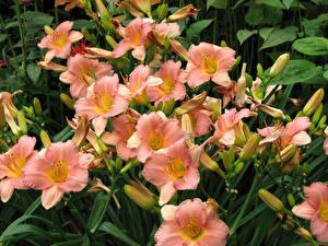 Фотографии Лилии Вблизи Бутон Цветы