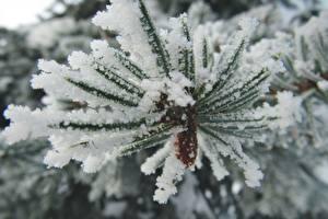 Картинка Макросъёмка Крупным планом Ветки Снег Ель Природа