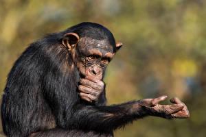 Фотографии Обезьяны Пальцы Животные