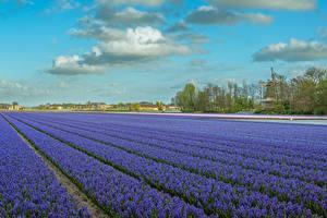 Картинки Нидерланды Поля Гиацинты Небо Облака Lisse Цветы
