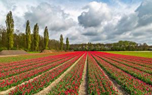Картинки Нидерланды Поля Тюльпаны Облака