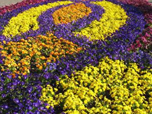 Фотографии Нидерланды Парки Анютины глазки Много Дизайн Keukenhof Цветы