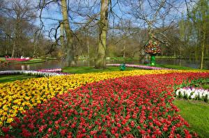 Картинки Нидерланды Парки Весенние Пруд Тюльпаны Деревья Keukenhof