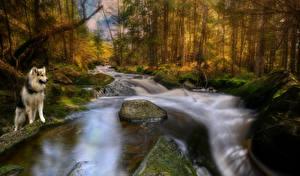 Картинка Норвегия Леса Камни Реки Собаки Осень HDRI Мох Хаски Ostfold Животные