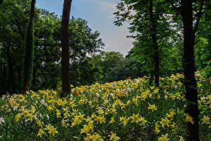 Обои Парки Лилии Деревья Ствол дерева Природа
