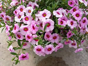Обои Петунья Вблизи Розовый Цветы