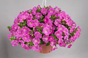 Фотография Петунья Много Серый фон Фиолетовых Цветы