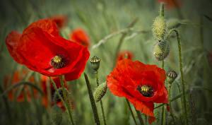 Картинка Маки Вблизи Красный Бутон Цветы