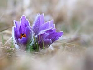 Фотография Прострел Вблизи Цветы