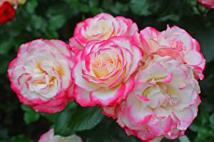 Картинки Розы Крупным планом Цветы