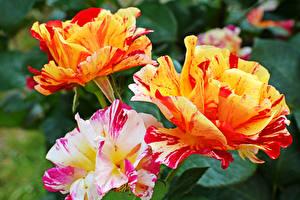 Фотографии Розы Крупным планом Трое 3 Цветы