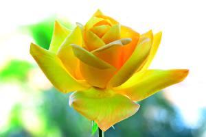 Картинка Розы Крупным планом Желтый Цветы