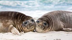 Картинки Морские котики Смотрит Две Eared seal животное