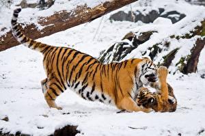Фотография Тигры Детеныши Зима Дальневосточный Снег Животные
