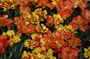 Фотография Тюльпаны Вблизи Оранжевый Цветы