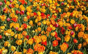 Обои Тюльпаны Много Вблизи Цветы
