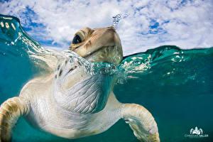 Фотографии Черепахи Макросъёмка Крупным планом Вода Голова Плывет Животные