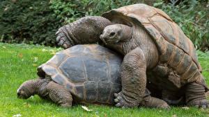 Обои Черепахи Двое