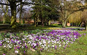 Фотографии Великобритания Парки Англия Весенние Крокусы Лондон Деревья Victoria Park Природа