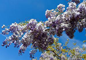 Фотографии Глициния Ветвь Цветы