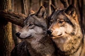Фото Волк Двое Морды животное