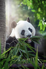 Картинка Медведи Бамбуковый медведюшка Листья