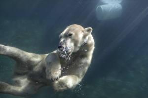 Картинка Медведь Северный Воде Подводный мир Плывет животное