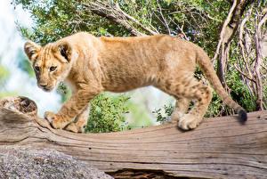 Обои Большие кошки Тигры Детеныши Ствол дерева Животные