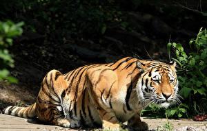 Фотография Большие кошки Тигры Смотрит Животные