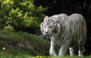 Картинки Большие кошки Тигры Белый Животные