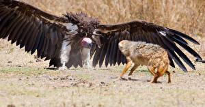 Фото Птицы Лисица Грифы Крылья Животные