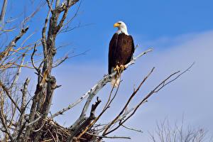 Фотография Птицы Ястреб Белоголовый орлан