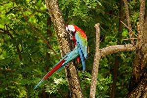 Картинки Птицы Попугаи Ара (род) Ветки Животные