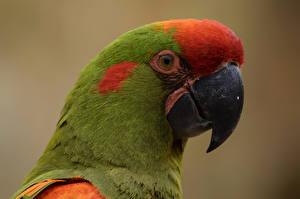Картинка Птицы Попугаи Вблизи Клюв Голова