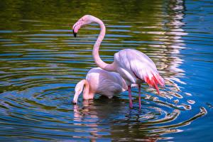 Фотография Птицы Вода Фламинго 2 Розовый Животные