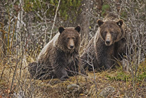 Фотографии Медведи Гризли Леса 0