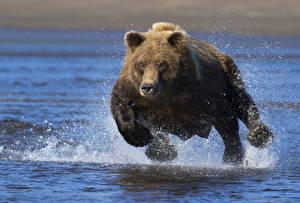 Обои Медведи Бурые Медведи Вода Брызги Бег Животные картинки