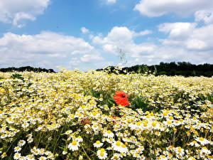Картинки Ромашки Маки Много Небо Цветы