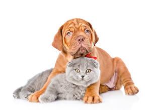 Фотографии Коты Собаки Белый фон 2 Смотрит Бордоский дог Животные