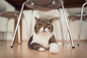 Фотография Коты Взгляд Лапы Животные