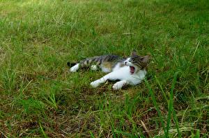 Картинка Коты Трава Зевает Животные