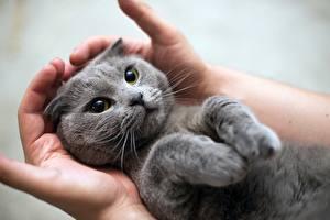 Обои Коты Серый Руки Лапы Миленькие