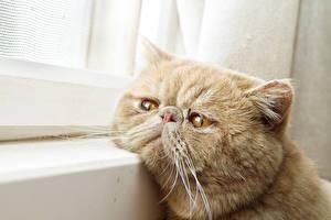 Фотография Кошки Морды Взгляд Усы Вибриссы Грустная Животные
